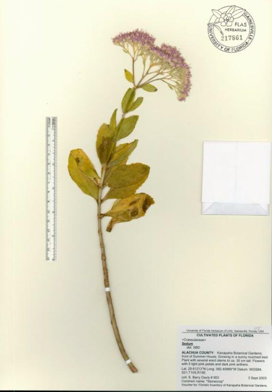 Sedum specimen sheet
