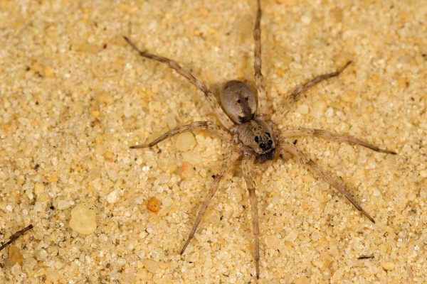 The number of wolf spiders dropped in response to compressor noise, possibly because these spiders rely on vibrations to detect their prey. Florida Museum of Natural History photo by Lary Reeves