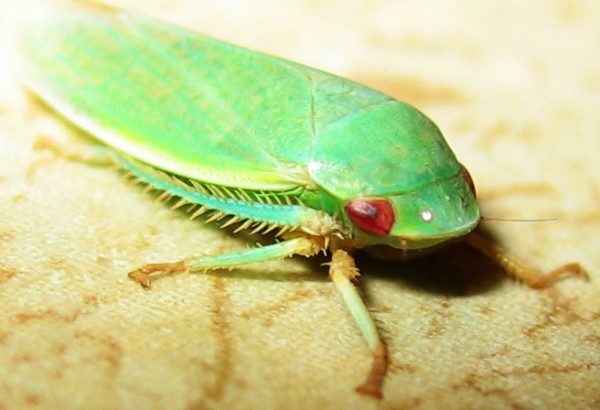 Unexpectedly, leafhopper populations surged in areas near gas compressors, perhaps because the noise acted as a
