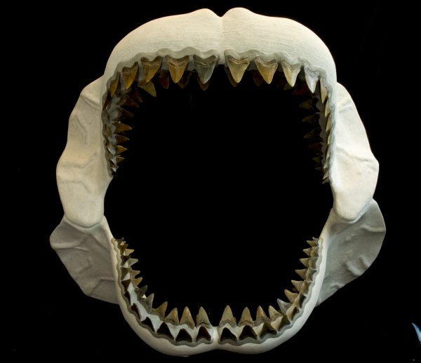 Megalodon, the world's biggest shark, dominated the ocean 23 to 2.6 million years ago. Florida Museum of Natural History photo by Jeff Gage