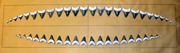 fossil set of megalodon teeth
