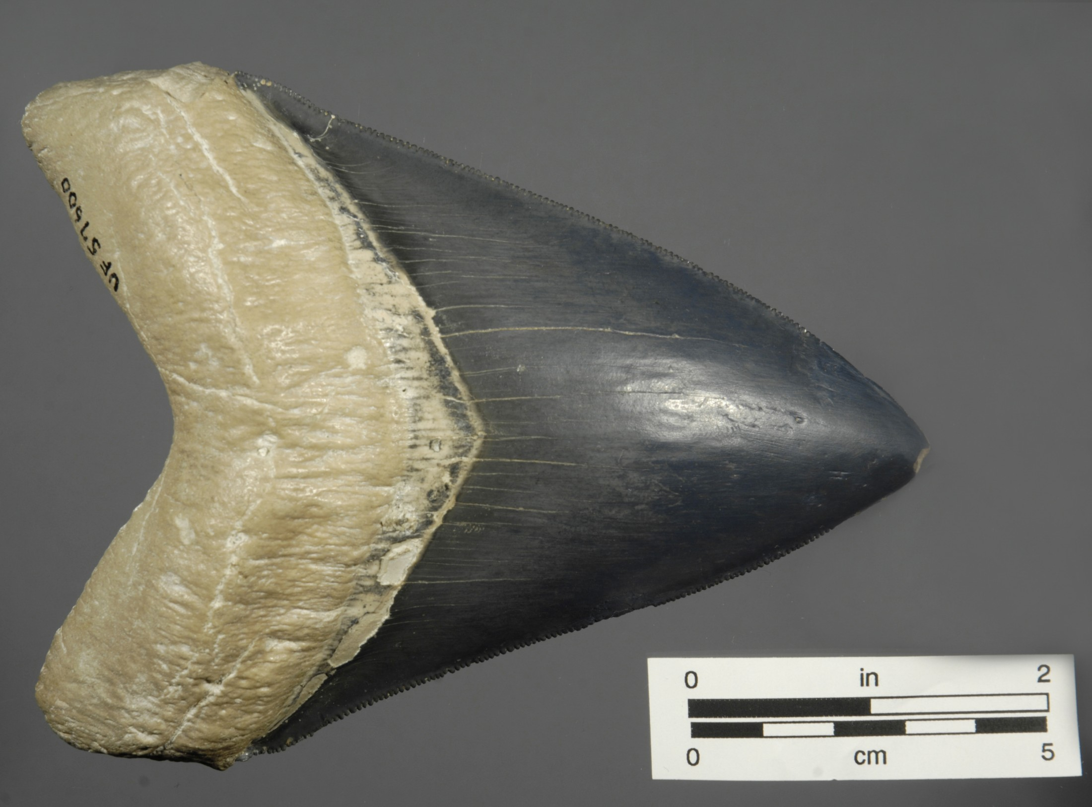 Five Facts: Megalodon – Florida Museum Science
