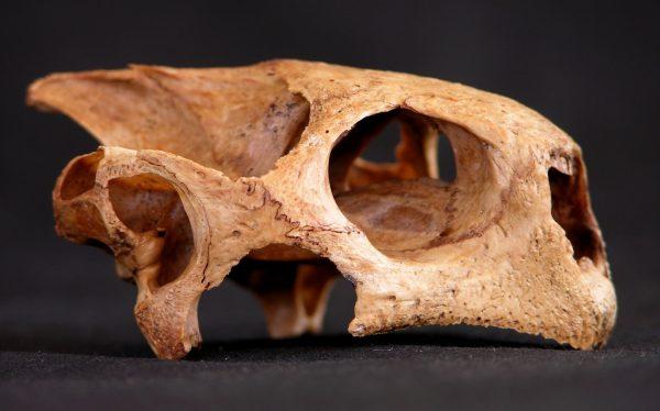 tortoise fossil skull