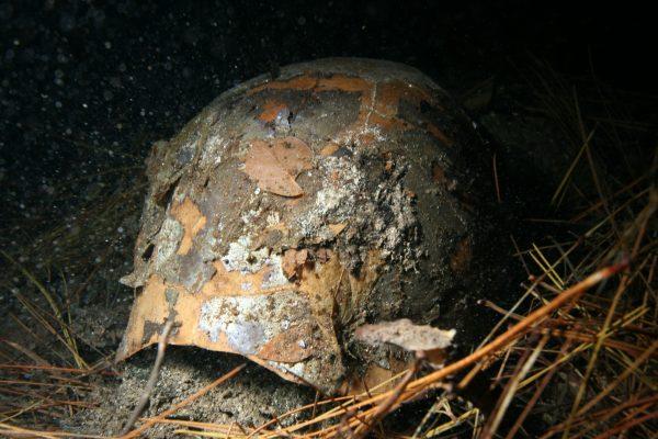 extinct tortoise fossil shell