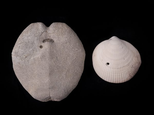 Gray heart urchin and white mollusk show drill holes from predators