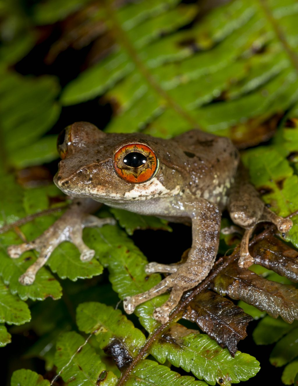 brown tree frog with red eye