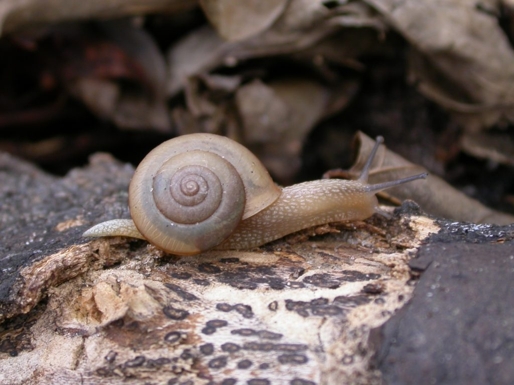 Asian tramp snail, Bradybaena similaris
