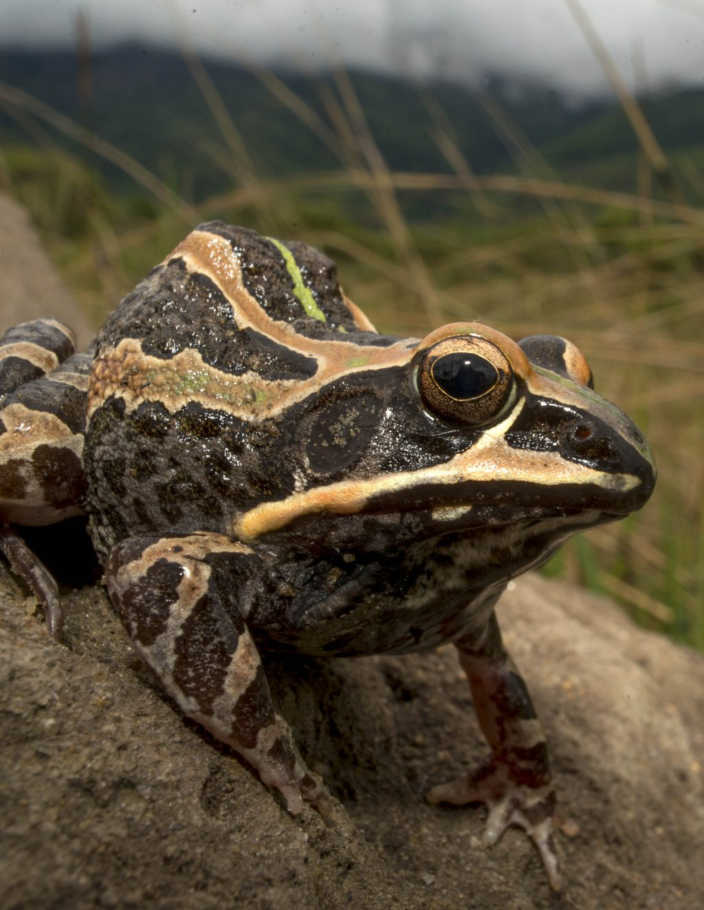 brown and tan striped frog