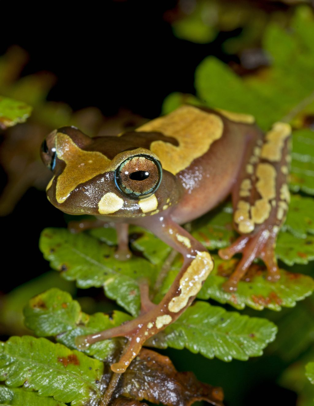 brown and tan spotted tree frog