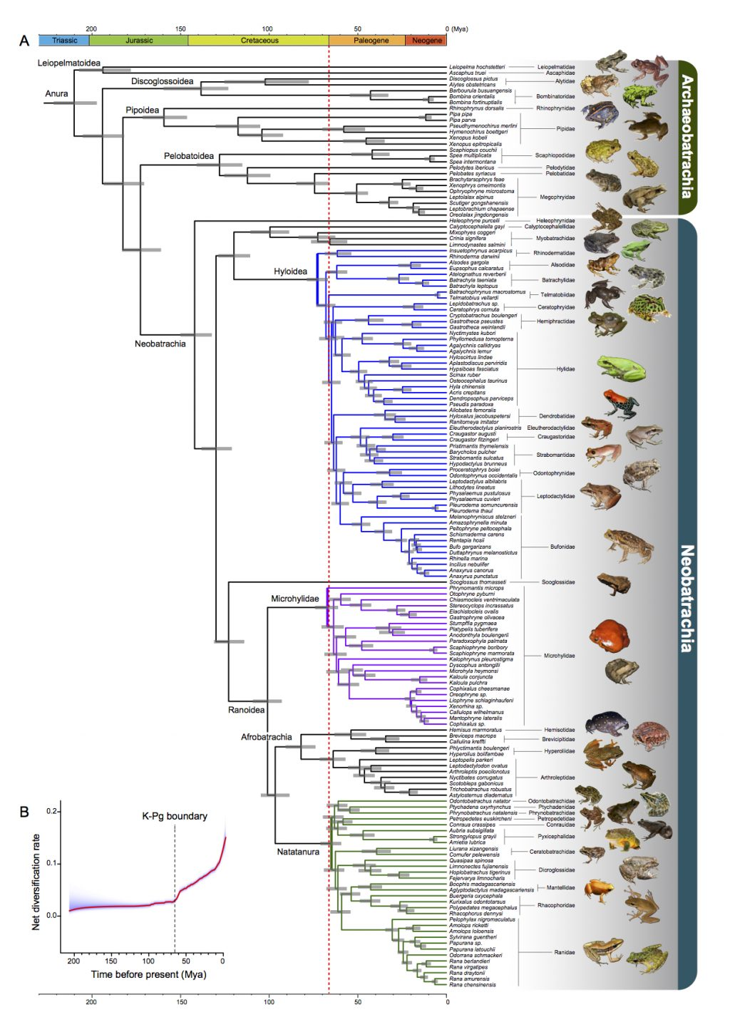 The analyses that generated this frog tree of life showed 88 percent of modern frogs evolved after the mass extinction that killed non-avian dinosaurs, marked here by a dotted red line. Graphic by Feng et al. in Proceedings of the National Academy of Sciences