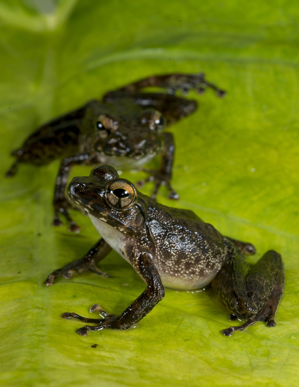 two dark colored frogs with white bellies