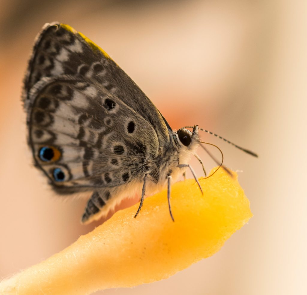 Miami blue butterfly feeding on Gatorade-soaked cotton bud