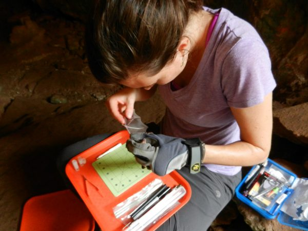 Kelly Speer prepares to take a DNA sample of a bat captured in a cave. Photo courtesy of Nancy Albury