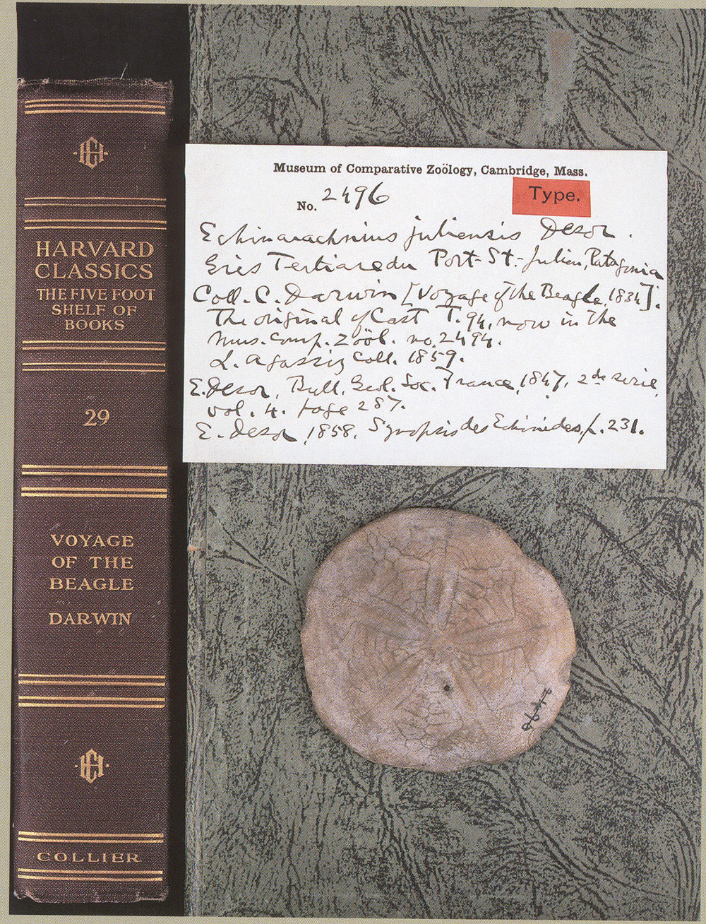 Sand dollar collected by Darwin with specimen label