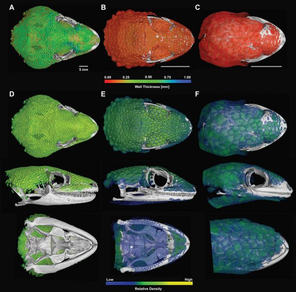CT scans produced these reconstructions of the skulls and osteoderms of Gekko gecko, from left, Tarentola mauritanica and Geckolepis maculata, showing the relative thickness and density of their osteoderms. Image by Paluh et al. in the African Journal of Herpetology