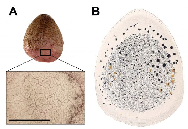The inset, left, shows the tightly interlocking osteoderms in a Geckolepis maculata scale magnified 100 times. On the right is Schmidt's 1911 illustration of the osteoderms he observed in a G. polyepis scale. Image by Paluh et al. in the African Journal of Herpetology