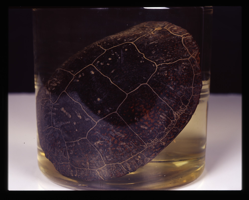 Blanding's turtle collected by Henry David Thoreau