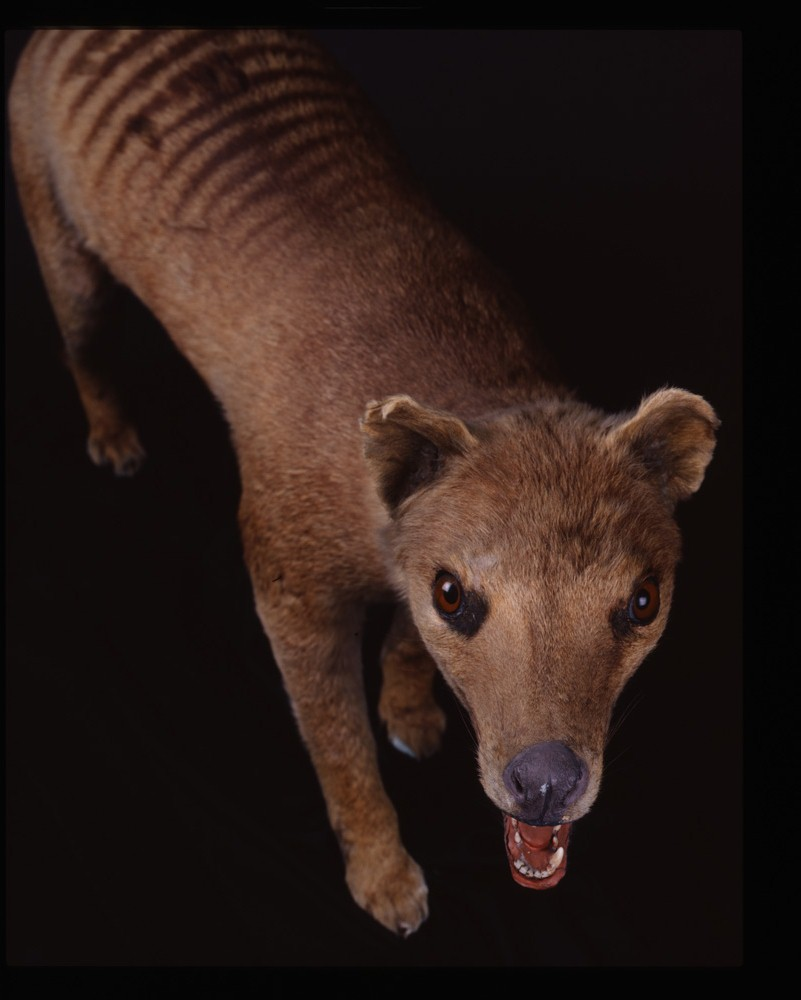 stuffed Tasmanian tiger