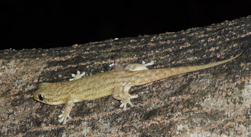 The discovery of tough bony deposits in Geckolepis maculata's scales raises the question of why the gecko sheds them when threated. Photo courtesy of Sara Ruane