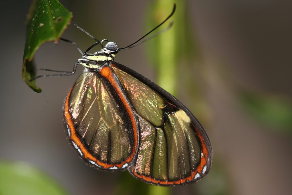 small clear winged butterfly