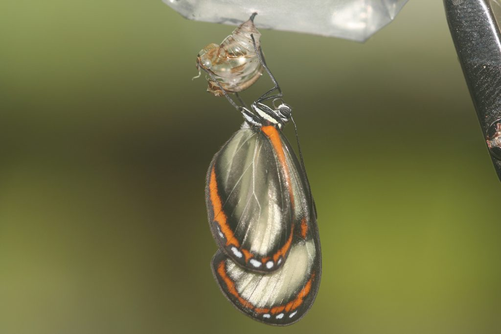 small clear winged butterfly emerging from a chrysalis