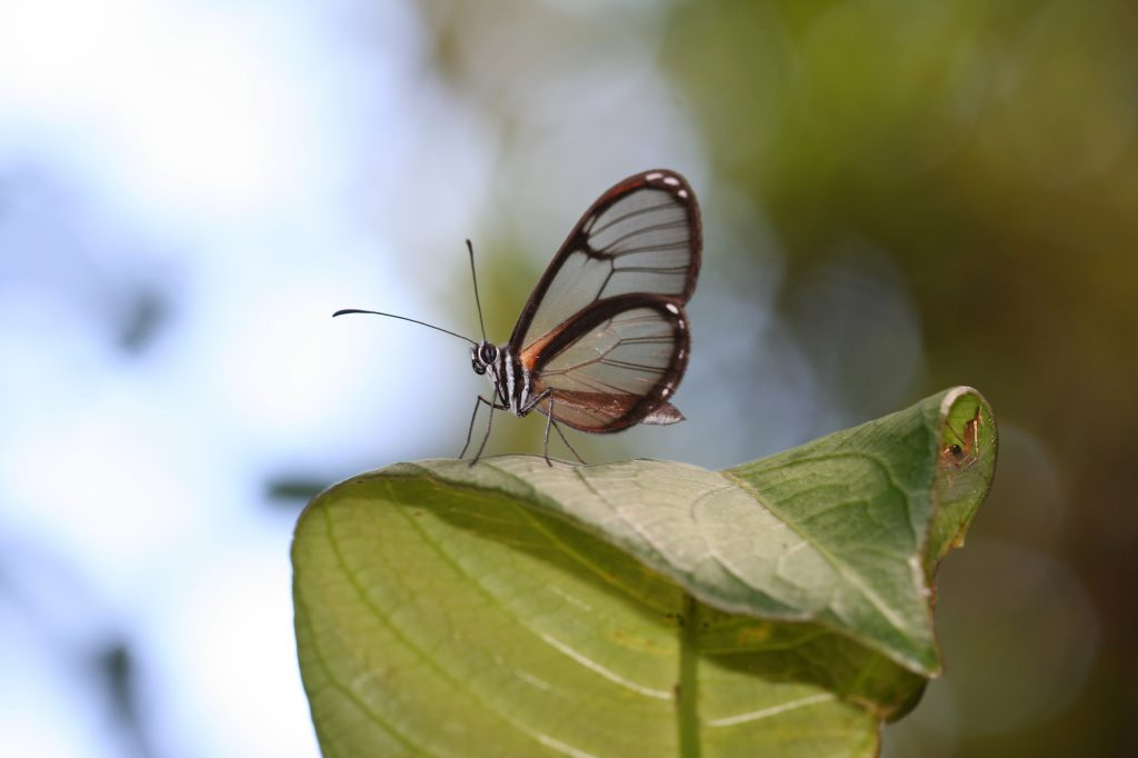 small clear winged butterfly on a leaf