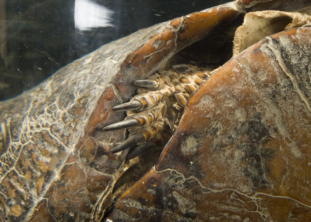 close-up of Thoreau's turtle specimen's leg