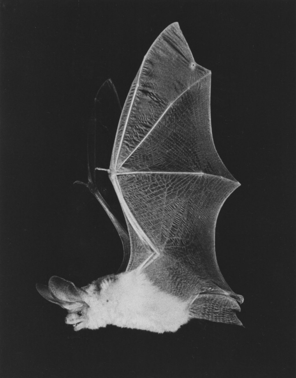 photo of bat in flight