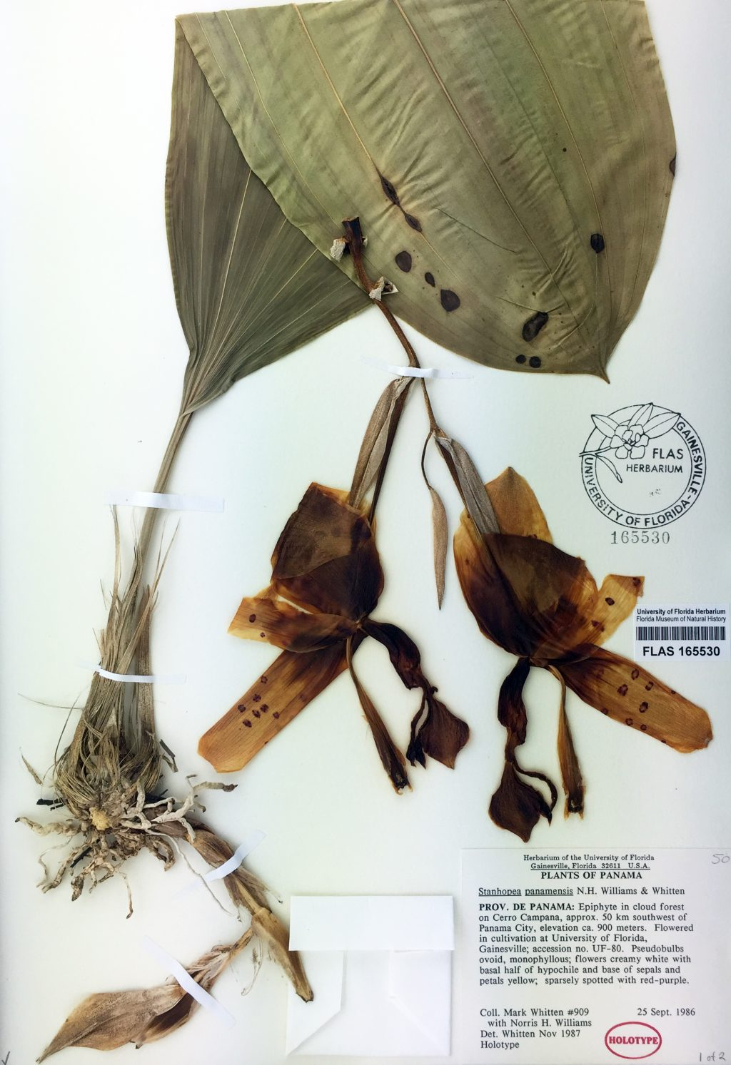 dried herbarium specimen of orchid from Panama
