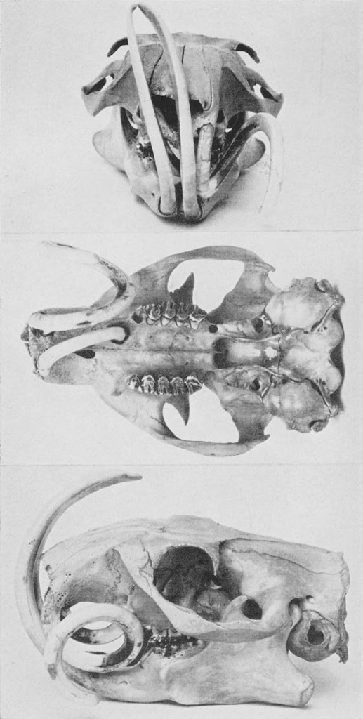 Black and white photos of woodchuck skull with unusually long incisors