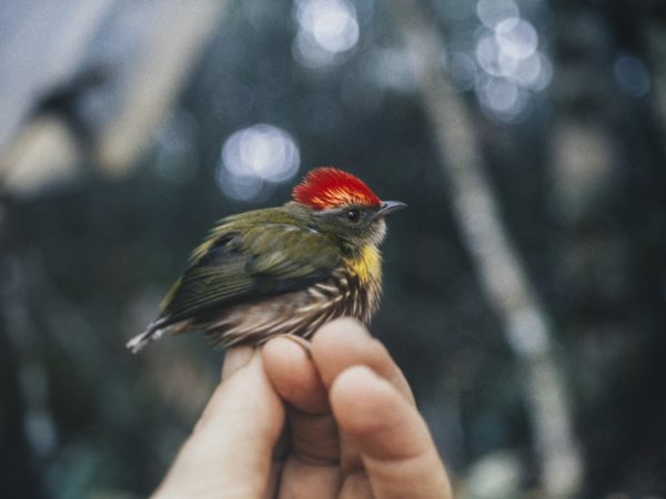 A researcher holds the newly described manakin species, Machaeropterus eckelberryi, during a 1996 expedition to Peru. Florida Museum photo by Andy Kratter