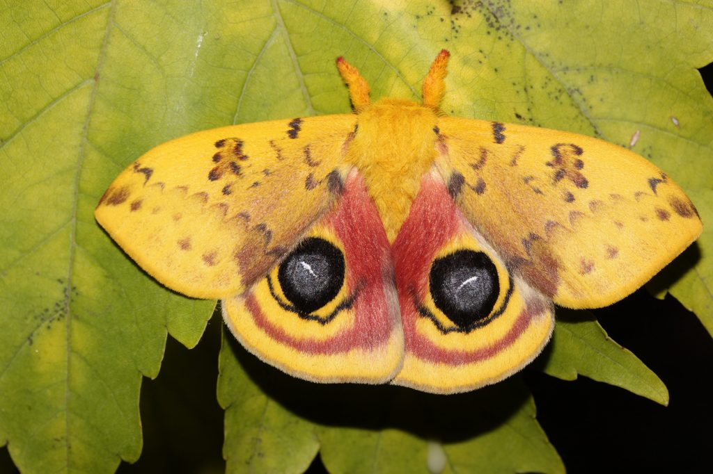 Io moth with wings expanded showing eye spots
