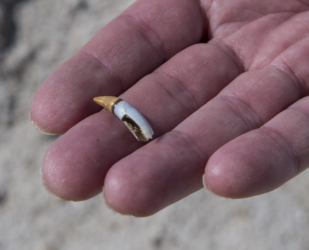 hand holding an alligator tooth