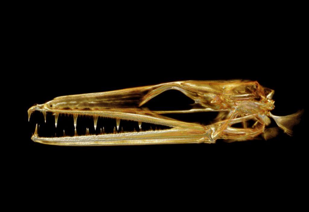 Scanned longface eel skull