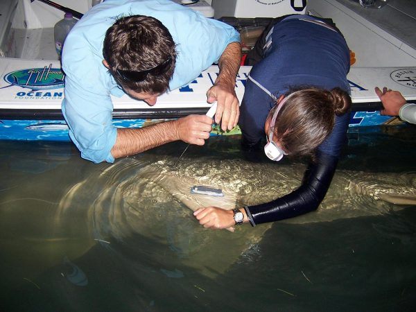 researchers tagging a sawfish