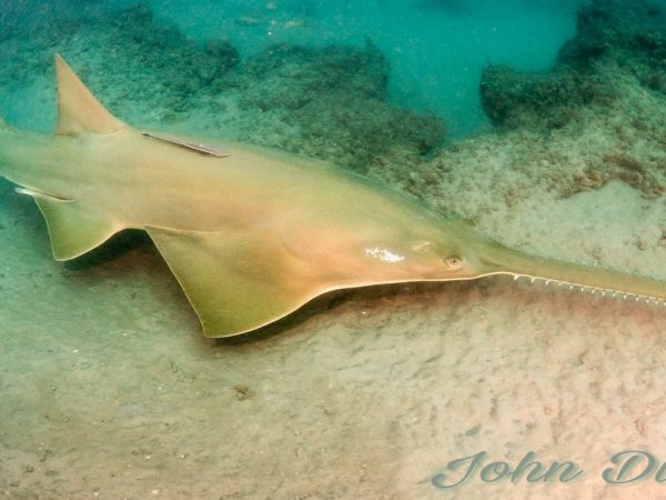 sawfish in the wild