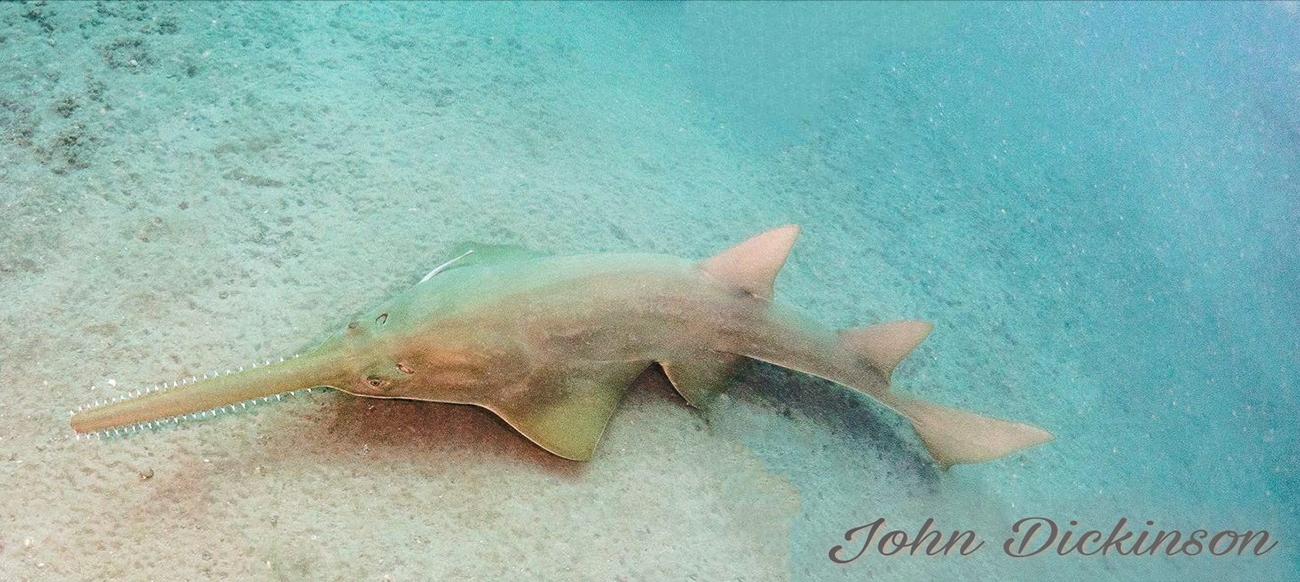 sawfish in the wild