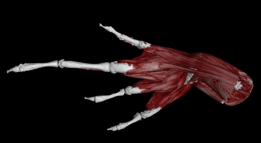 CT scan of frog limb