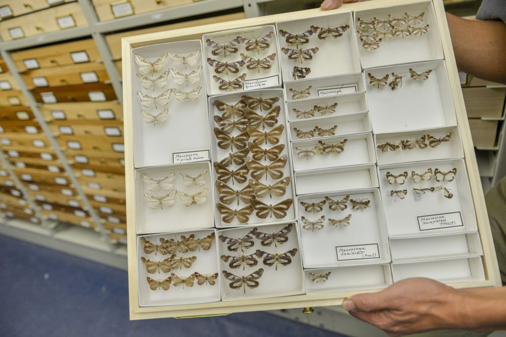 butterfly specimen drawer