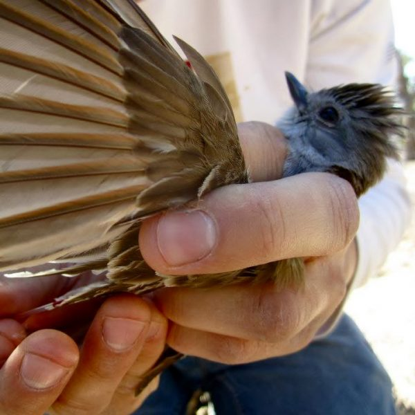 A researcher measures the wing of an ash-throated flycatcher. Photo courtesy of Nathan Kleist