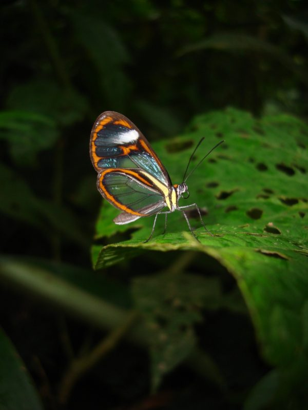 Ithomia agnosia, one of eight clearwing butterfly mimicry rings that fly in the same forest in eastern Ecuador. Florida Museum of Natural History photo by Kim Garwood