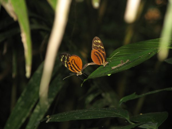 A mating pair of ithomiine butterflies, Melinaea satevis, in eastern Ecuador. Florida Museum of Natural History photo by Marianne Elias