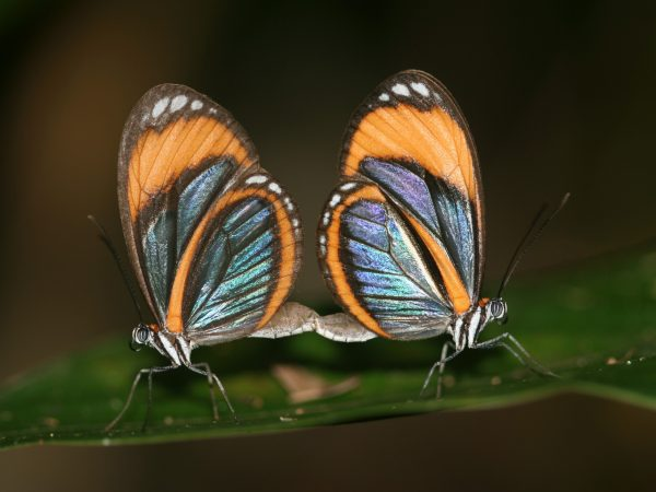 A mating pair of clearwing butterflies