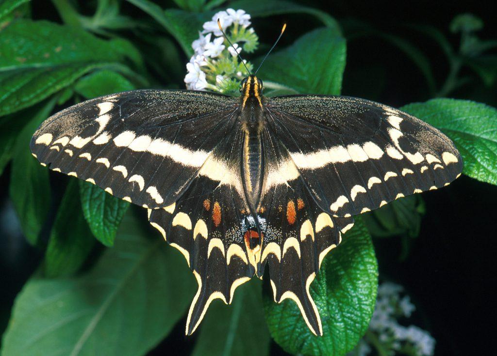 Schaus' swallowtail butterfly