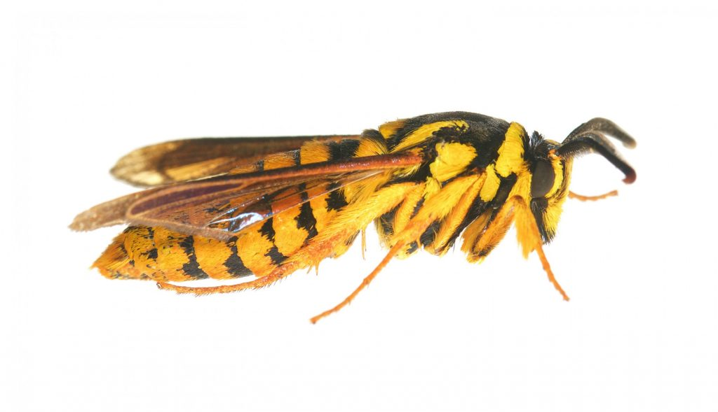 hornet clearwing moth