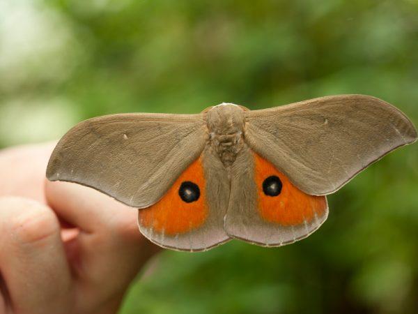 tan and orange moth