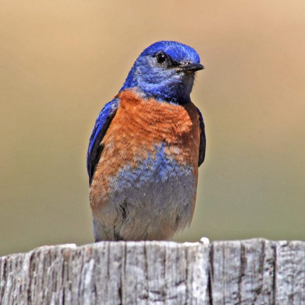 bluebird on tree stump