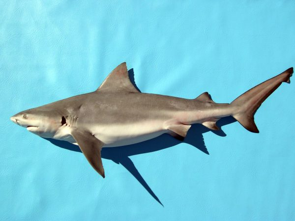 juvenile bull shark laying on a solid blue background