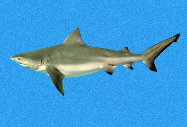 A digitized photo of a juvenile bull shark from the Indian River Lagoon. Florida Museum of Natural History photo by George Burgess