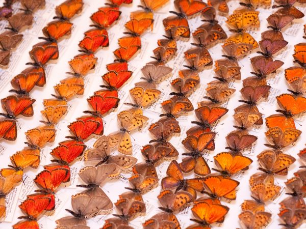 specimens of the Large Copper butterfly from England